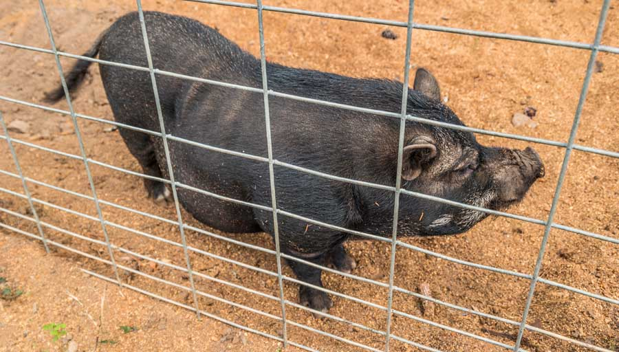 Hog Wire Fence Panel With Pot Belly Pig